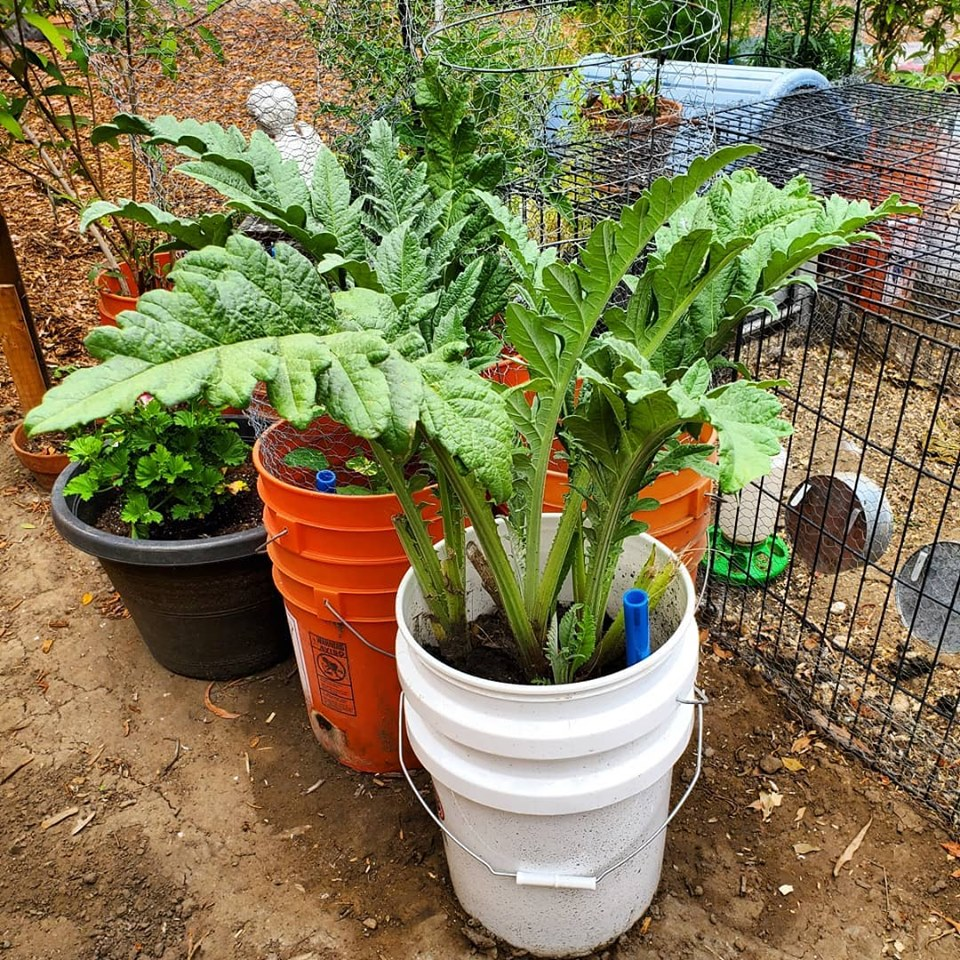 artichokes growing in a self-watering container in the Learn & Grow test garden